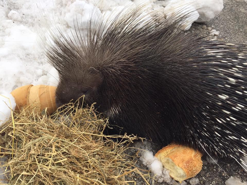 L'istrice salvato dalla neve a Ussita