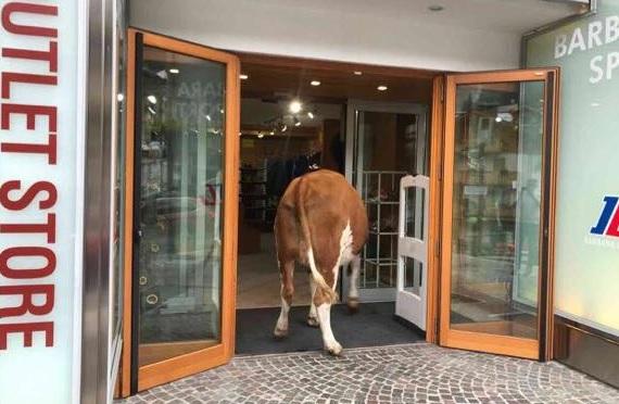 Mucche fanno shopping in un negozio di Madonna di Campiglio