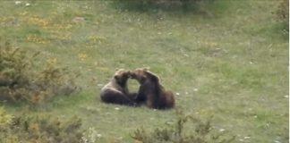 orsi che si baciano