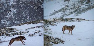 Lupi sulle piste da sci di Ovindoli - Monte Magnola