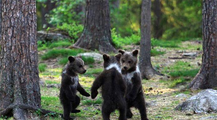 Cuccioli di orso che fanno il girotondo le foto scattate da Valtteri Mulkahainen